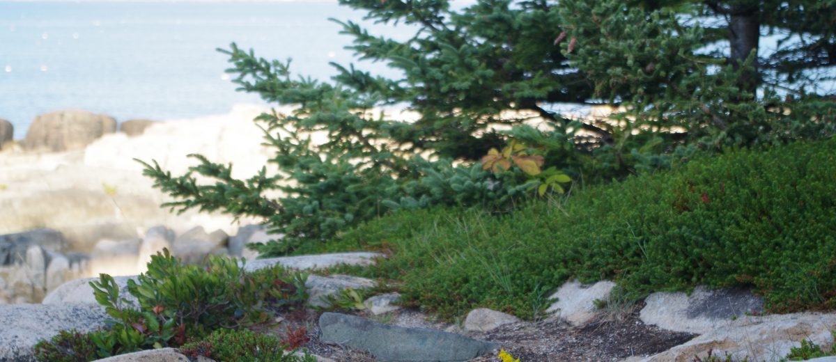 Rocky shore with black crowberry and spruce tree, ocean in background