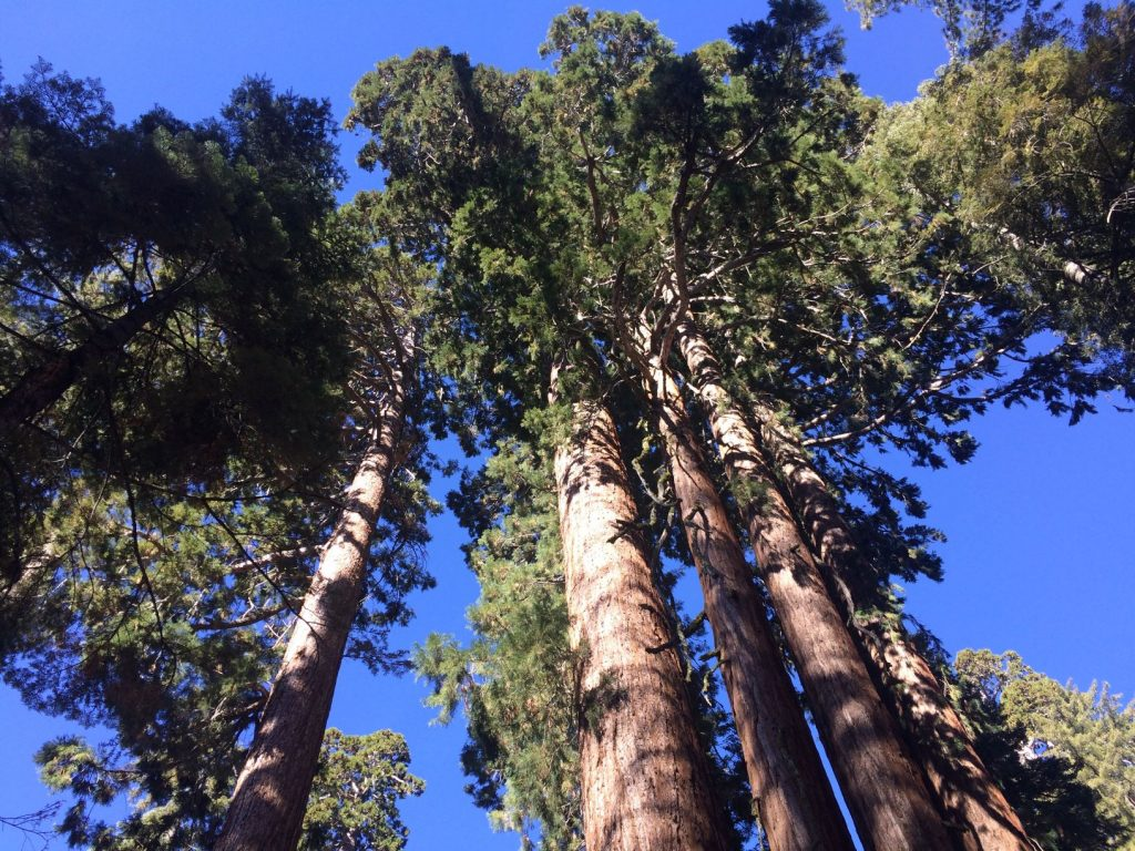 The top of giant sequoia trees in the Grant Grove