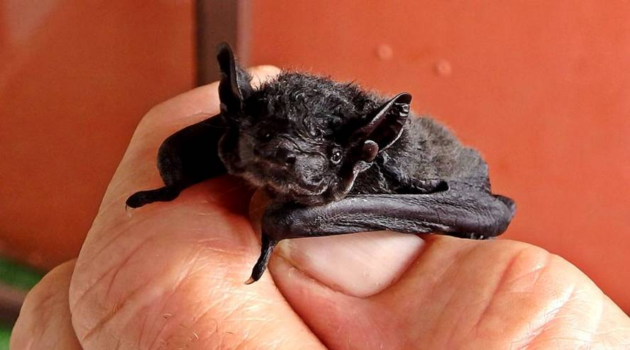 A human hand holds a black bat between thumb and forefinger